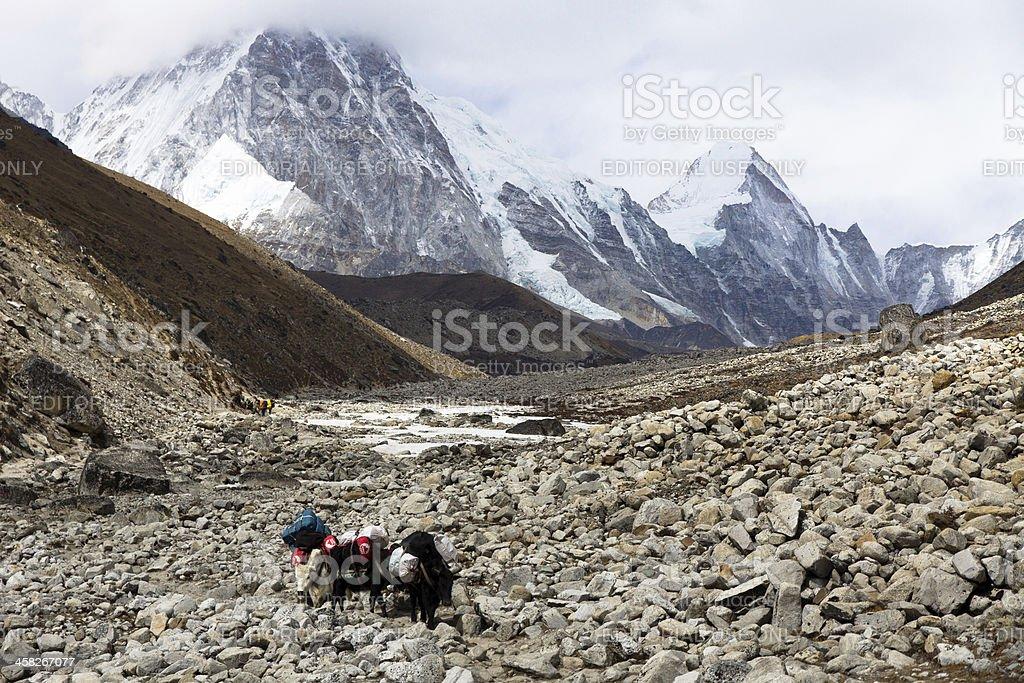 Yaks returning from Everest Base Camp Nepal on rocky trail royalty-free stock photo