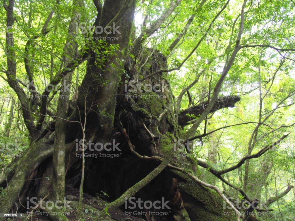 Yakushima forest foto stock royalty-free