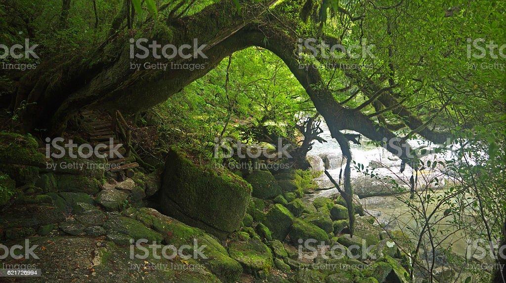 Yakushima green forest stock photo