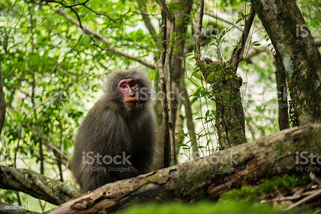 yakushima macaque stock photo