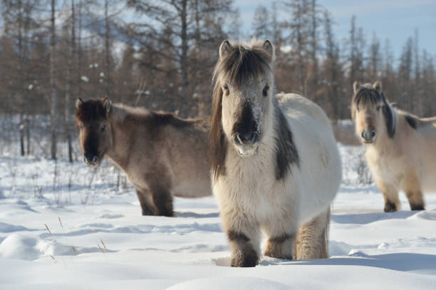 Yakut horses in Oymyakon