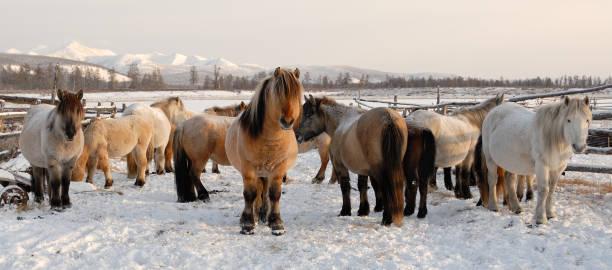 yakut paarden in ojmjakon - siberië stockfoto's en -beelden