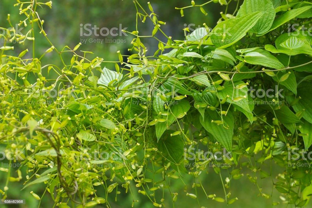 Yam, Dioscorea caucasica plant stock photo