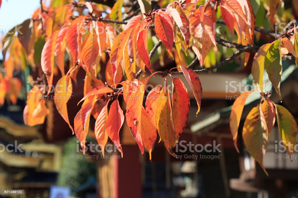 Yamazakura's autumn leaves photo libre de droits
