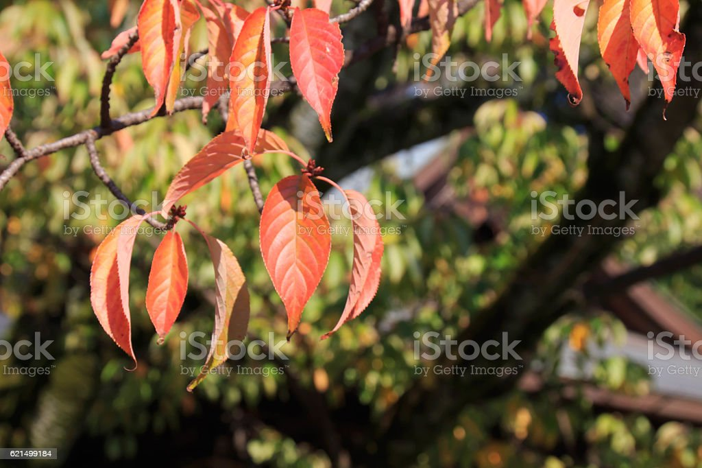 Yamazakura's autumn leaves foto stock royalty-free