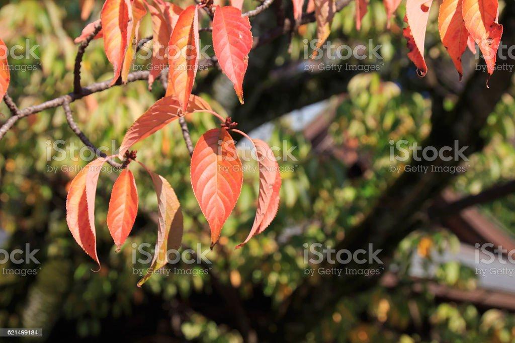 Yamazakura's autumn leaves Lizenzfreies stock-foto