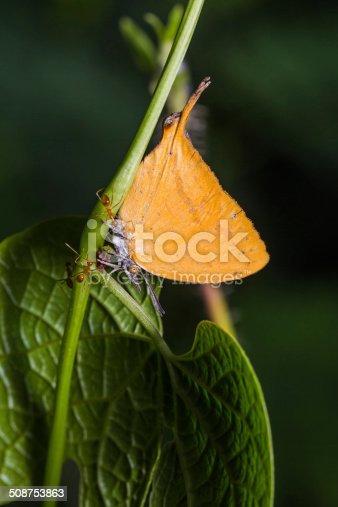 Close up of Yamfly (Loxura atymnus) butterfly in nature