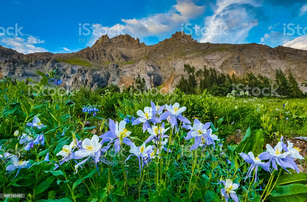 Yankee Boy Basin Colorado Columbine