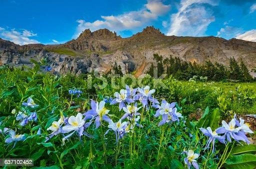 Wild Colorado Columbine inside Yankee Boy Basin near Ouray, Colorado