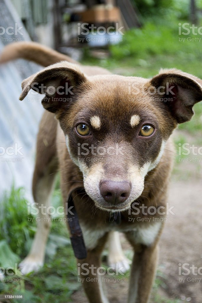 Yard dog royalty-free stock photo