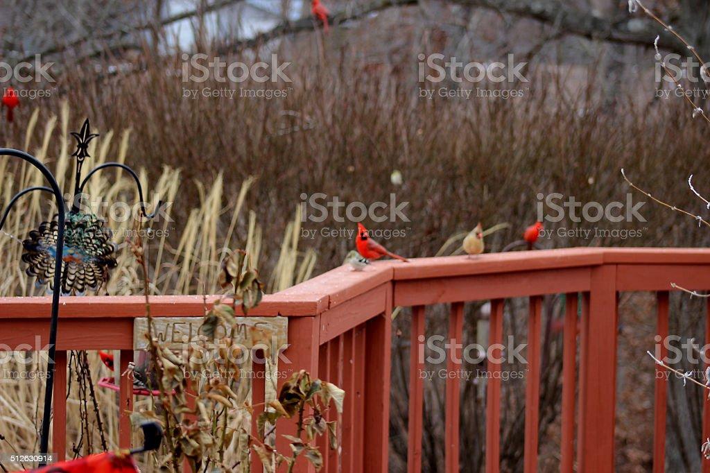Yard Full of Cardinals stock photo