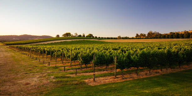 Yarra Valley Vineyard in Australia stock photo