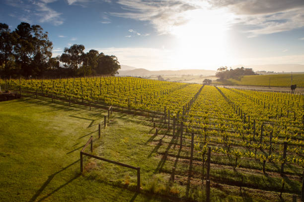 Yarra Valley Vineyard stock photo