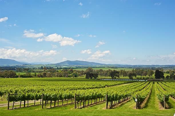 yarra valley vineyard - victoria australia foto e immagini stock