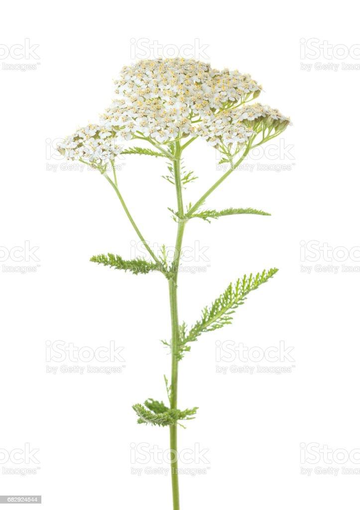 Yarrow (Achillea millefolium) flower isolated on white background stock photo