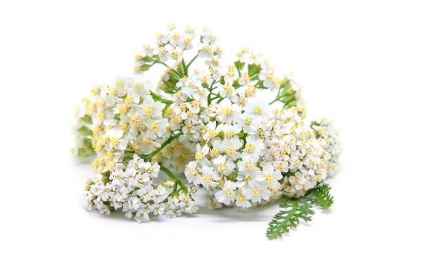 Yarrow (achillea millefolium). Healing plant stock photo