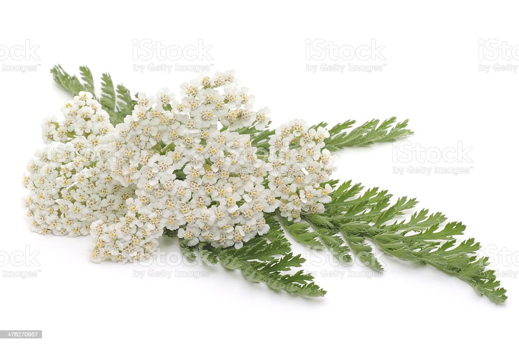 Yarrow herb stock photo