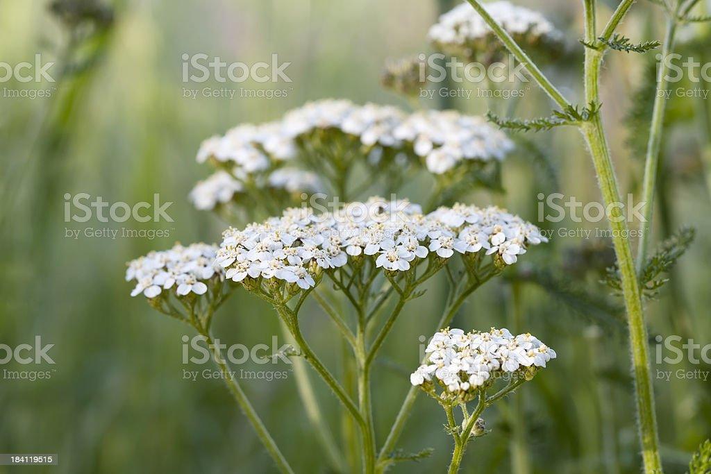 Yarrow, Milfoil (Achillea millefolium) stock photo