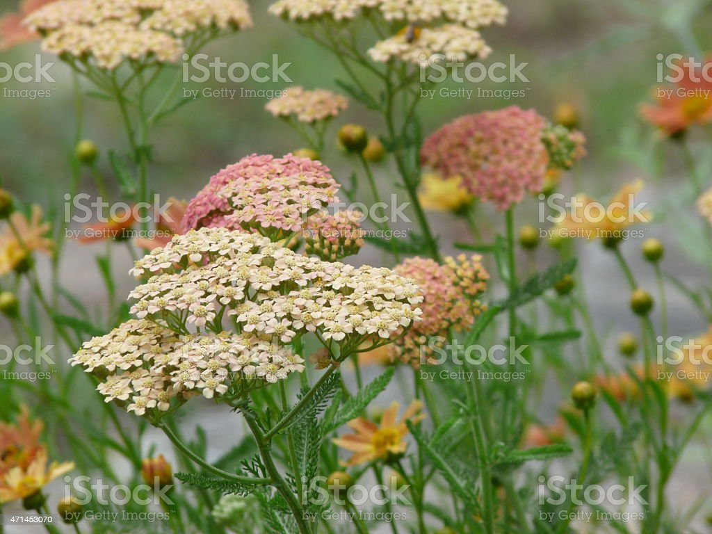 Yarrow Mix Summer Flowers in apricot and warm pink shades stock photo