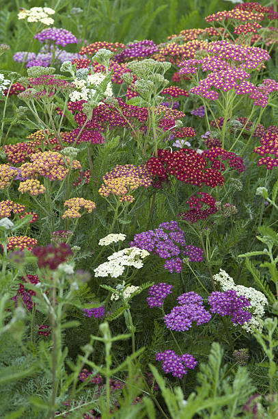 yarrow (Achillea) stock photo