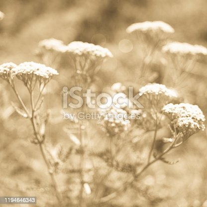 Yarrow with white flowers grow in the sunny garden, blurred