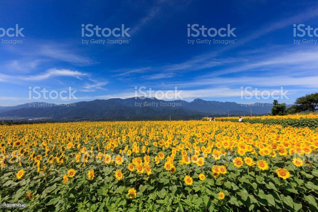 Yatsugatake and sunflower field in full bloom - August of Japan - stock photo