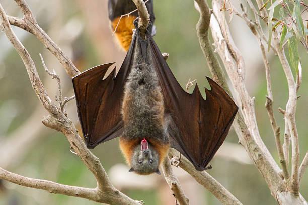 Yawning Bat stock photo