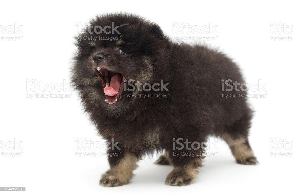 Yawning Black Pomeranian Puppy Stock Photo Download Image Now Istock