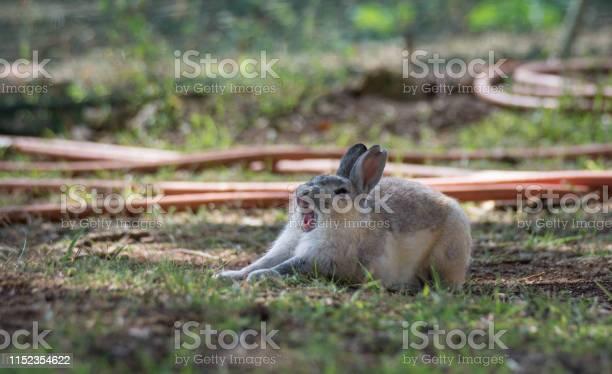 Yawning bunny picture id1152354622?b=1&k=6&m=1152354622&s=612x612&h=nkzckqd3 xe8 kggbcuspqiz8bnfmbz0ybvvlzuzalm=