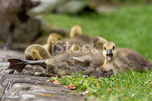 Canada goose gosling lying on a meadow.