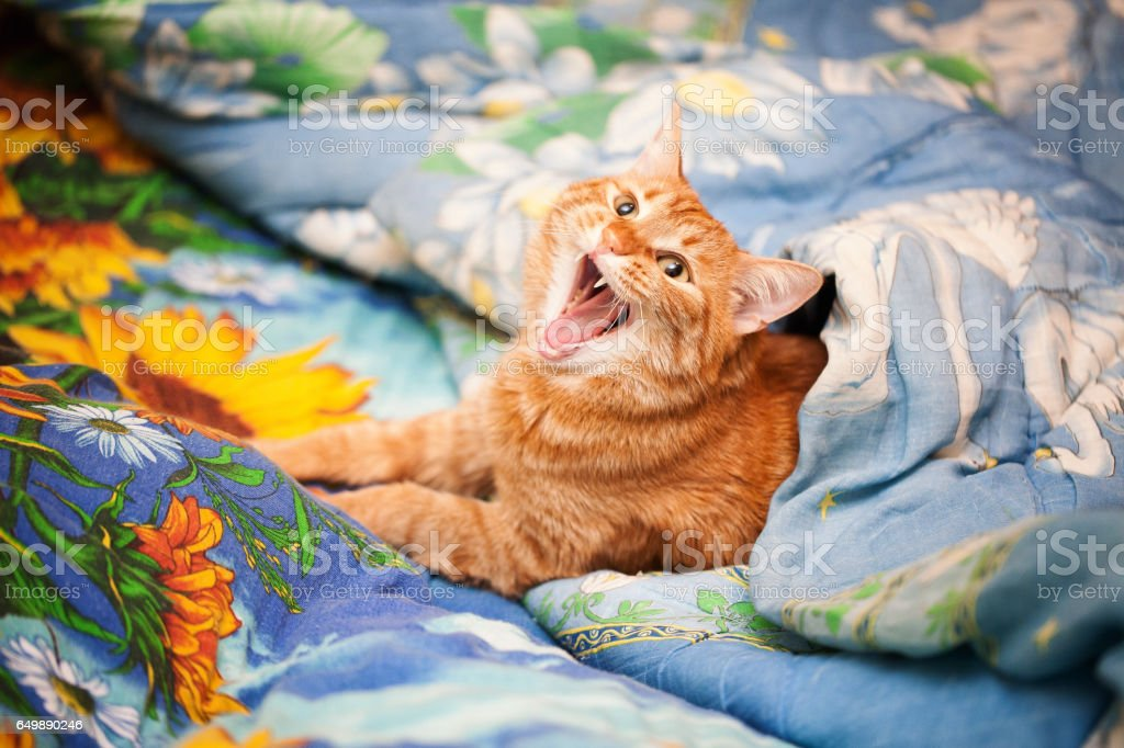 Ginger Red Cat is Yawning in the Bed
