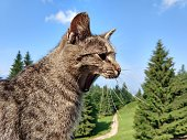 Yawning cat on the wooden fence on the hill. Slovakia