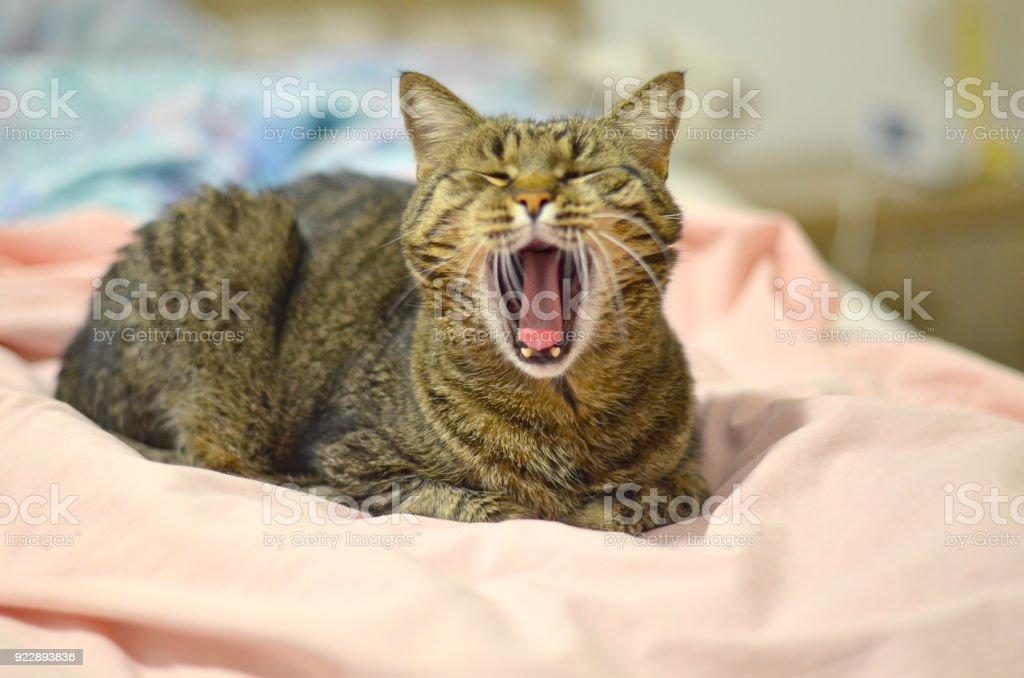 Gähnen Cat – Foto