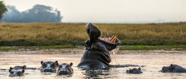 Yawning common hippopotamus in the water at sunset. stock photo
