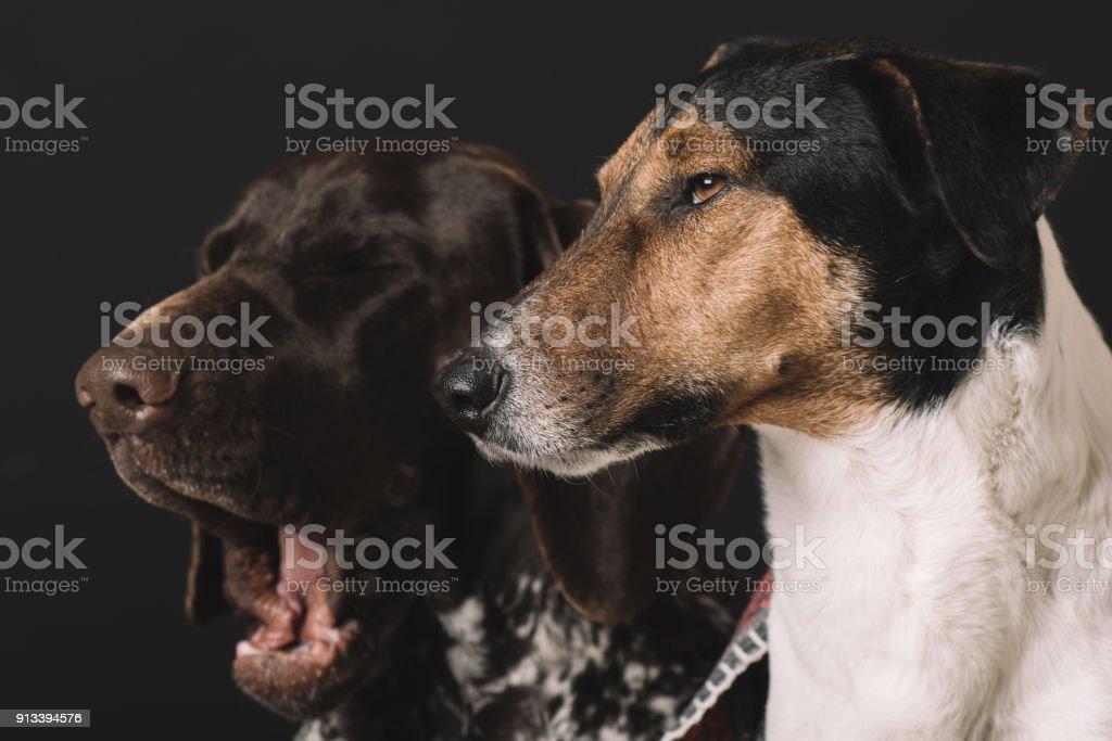 Yawning dog. Two cute sleepy dog at home. stock photo
