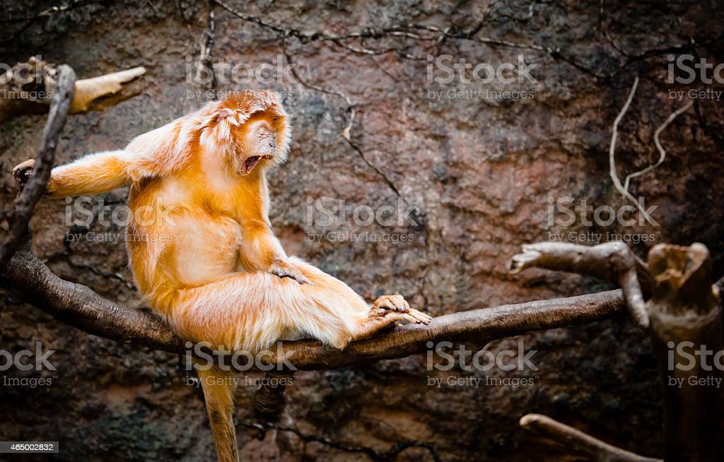 Yawning Ebony Langur stock photo