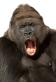 Portrait of a singing (yawning) western lowland gorilla in front of a white background. Please have a look at my other gorilla photos.
