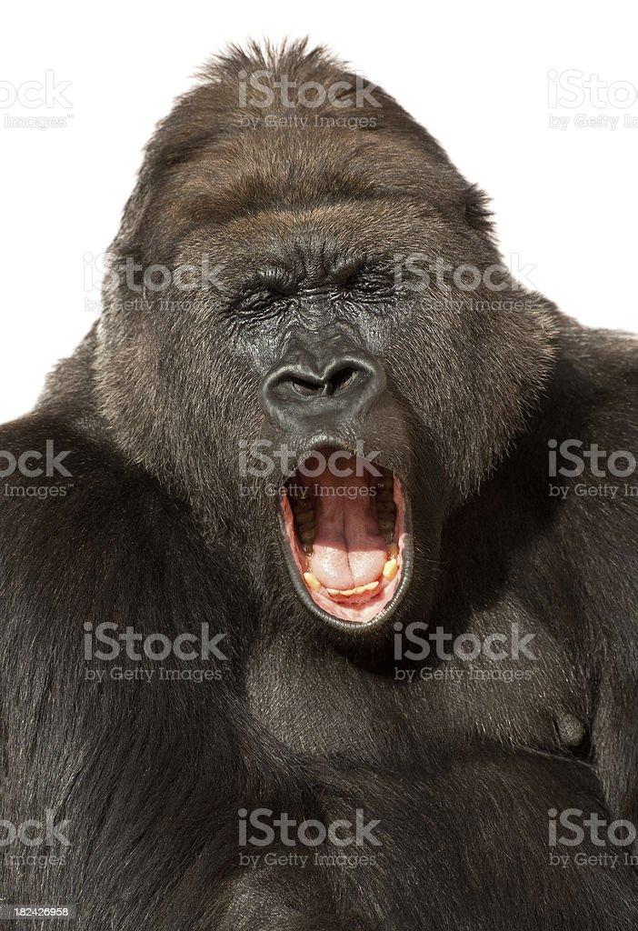 Yawning Gorilla Isolated On White stock photo