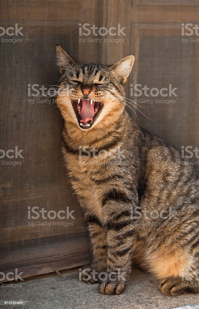 Yawning gray cat portrait up with old wooden background, Datca, stock photo