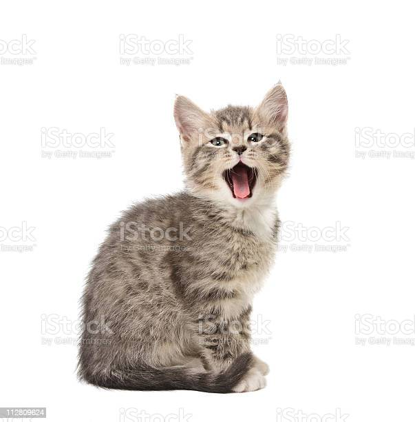 Yawning kitten picture id112809624?b=1&k=6&m=112809624&s=612x612&h=zojanfn xye6tbpp1ktd99ibys9lihb8hiawxynzhle=