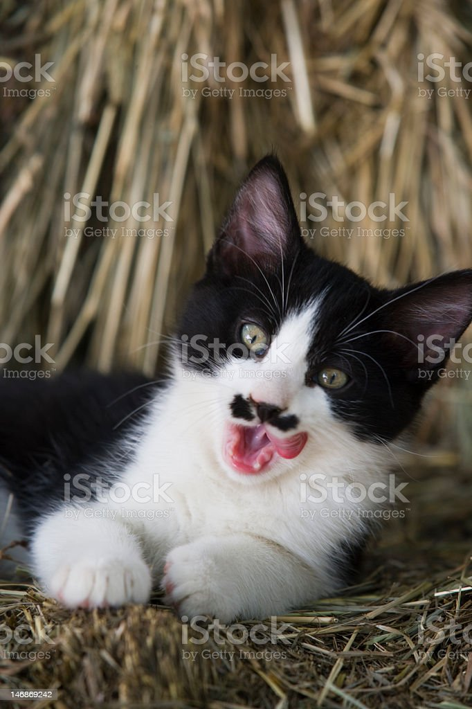 Yawning kitten with a cute 'mustache' stock photo