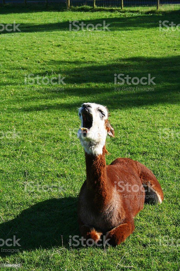 Yawning Lama on the grass stock photo
