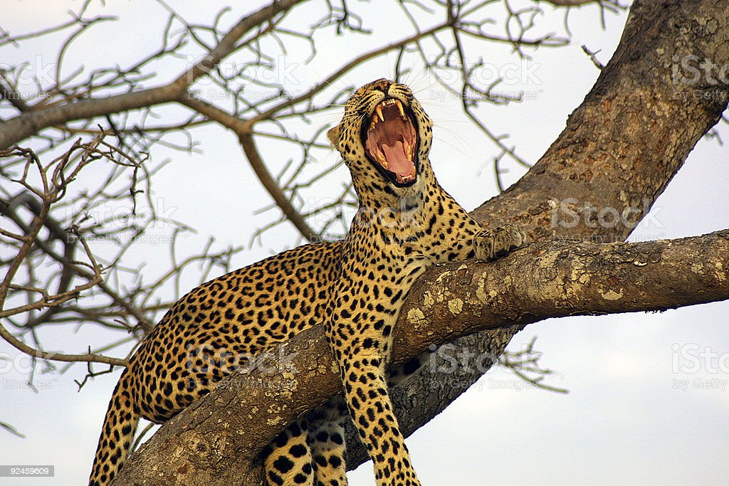 Yawning Leopard royalty-free stock photo