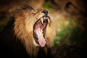 Portrait of a yawning  asiatic lion.