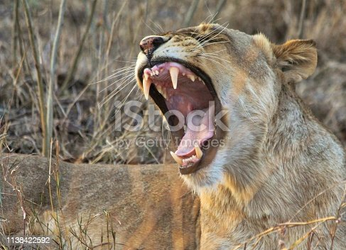A yawning lion in Kruger National Park, South Africa