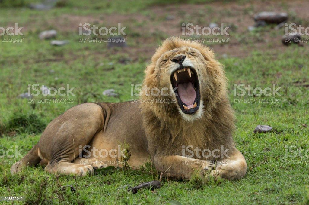 yawning lion stock photo