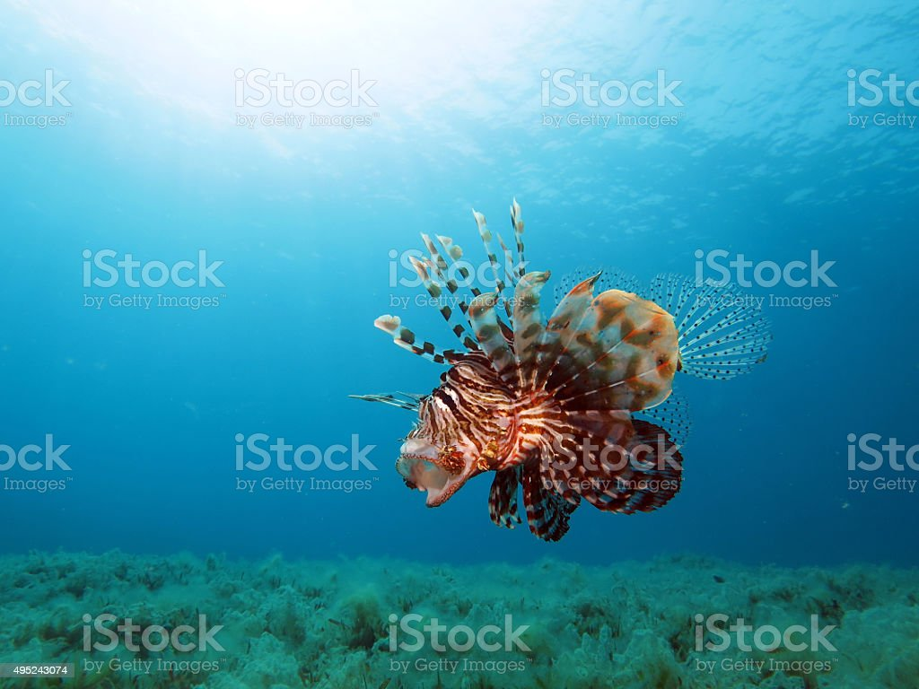 Yawning lionfish stock photo