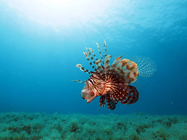 yawning lionfish - lionfish stock photos and pictures