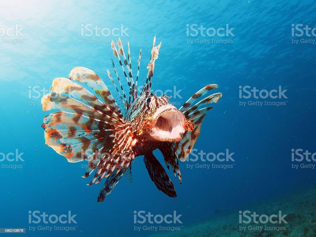 Yawning lionfish stock photo