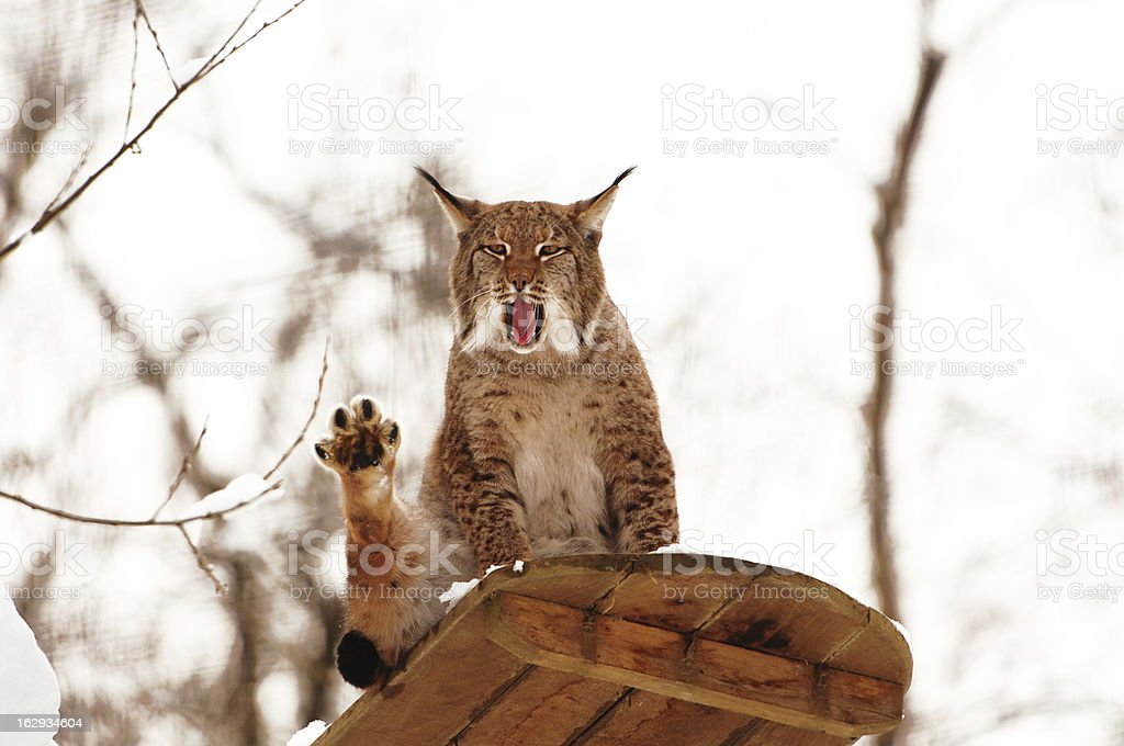 yawning lynx on an observation deck in winter stock photo